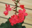 鮮やかな花色!つる性でお庭に植えると大きくなります。宿根草で毎年楽しめます。ブランバーゴ●ピンク【ルリマツリ】3号ポット苗