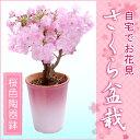 2月上旬からのお届け!特上株さくら盆栽(桜盆栽)●桜色陶器鉢植え−桜盆栽