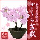 2月上旬からのお届け!特上株6号陶器鉢 さくら盆栽 自宅でお花見桜盆栽♪