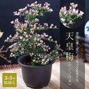 天皇梅(テンノウメ) 3.5号鉢植え