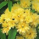 モッコウバラ(黄色)八重3.5号ポット苗