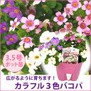 カラフルミックス!バコパ苗 3.5号ポット ●1個で白、ラベンダー、ピンクの3色楽しめる 1個