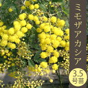 ミモザアカシア3.5号ロングポット苗 (ゴールデンミモザ・ギンヨウアカシア)