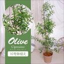 常緑果樹苗 オリーブの苗木 シプレッシーノ 10号鉢植え 同梱不可