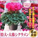 予約品12月上旬より出荷 優良品で特大株シクラメン鉢植え6号鉢(赤ピンク系)