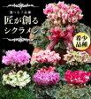 12月初旬より出荷 匠のシクラメン鉢植えギフト!選べる7品種 送料無料