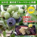 【父の日ギフト】実付きブルーベリー鉢植えと外郎(和菓子)セット (ha)