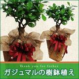 【父の日ギフト】ガジュマルの樹鉢植え (me)【楽ギフ】【楽ギフ包装】