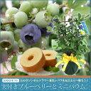 2016【父の日ギフト】実付きブルーベリー鉢植えとミニバウムクーヘンセット (tu) 05P27May16