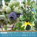 遅れてゴメンね【2016父の日】実付きブルーベリー鉢植えギフト 05P27May16