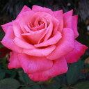 ★ご予約品11月上旬よりお届け★ バラ苗 ステファニードゥモナコ (ピンク系) ハイブリッドティーローズ