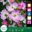 Rose09satou-74-2