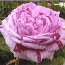 Rose09satou-96-2