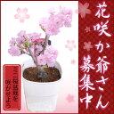 ミニ桜盆栽●花1本立ち・プラ鉢・自宅でお花見楽しめる桜盆栽♪