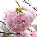 Sakura-sakai-005