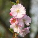 Sakura-sakai-008