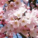 Sakura-sakai-021