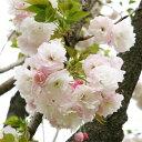 Sakura-sakai-039