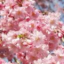 Sakura-sakai-048