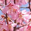 Sakura-sakai-050