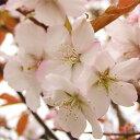 Sakura-sakai-051