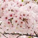 Sakura-sakai-053