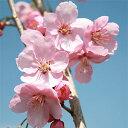 Sakura-sakai-056