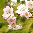 Sakura-sakai-061
