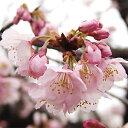 Sakura-sakai-062