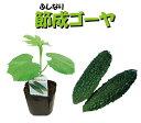 4月中旬以降お届け予約品 ●野菜ゴーヤー苗3号ポット 接木苗・節成ゴーヤー