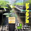 【3本セット】 トゲなしレモン ビアフランカ 苗木 【ベランダで育成】 鉢植え 接ぎ木苗 9cmポット [小] 果樹