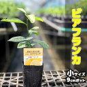 レモン 苗木 トゲなしレモン ビアフランカ 【ベランダで育成】 鉢植え 接ぎ木苗 9cmポット [小] 果樹 とげなし れもん