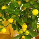 レモン 苗木 リスボン 【ベランダで育成】 鉢植え 接ぎ木苗 ポット植え[中] 柑橘 果樹 れもん