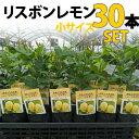 【30本セット】レモン 苗木 リスボン 【ベランダで育成】 鉢植え 接ぎ木苗 ポット植え[小] 柑橘 果樹 れもん