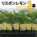 【5本セット】レモン 苗木 リスボン 【ベランダで育成】 鉢植え 接ぎ木苗 ポット植え[小] 柑橘 果樹 れもん