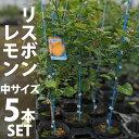【5本セット】レモン 苗木 リスボン 【ベランダで育成】 鉢植え 接ぎ木苗 ポット植え[中] 柑橘 果樹 れもん