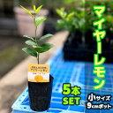 【5本セット】レモン 苗木 マイヤー 【ベランダで育成】 鉢植え 接ぎ木苗 ポット植え[小] 柑橘 果樹 れもん