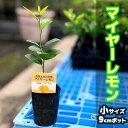 レモン 苗 苗木 マイヤー 【ベランダで育成】【一本でで実がなる】 簡単 家庭菜園 檸檬 lemon[小] 柑橘 果樹 れもん