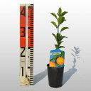 みかん スイートスプリング 苗木【ベランダで育成】 鉢植え 接ぎ木苗 9cmポット[小] 果樹