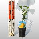 【ベランダで育成】柚子(ゆず)苗木 柑橘 鉢植え 接ぎ木苗 9cmポット[小] 果樹 本柚子