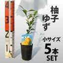 【5本セット】 柚子(ゆず)苗木 【ベランダで育成】 柑橘 鉢植え 接ぎ木苗 9cmポット[小] 果樹