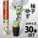【30本セット】 柚子(ゆず)苗木 【ベランダで育成】 柑橘 鉢植え 接ぎ木苗 9cmポット[小] 果樹