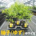 柚子(ゆず) 苗木 柑橘 鉢植え 接ぎ木苗 ポット植え【ベランダで育成】[中] 柑橘 果樹 本柚子
