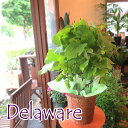 実付き ぶどうの木 デラウェア 6号鉢サイズ ブドウ 葡萄 鉢植え 送料無料 薫る花 庭木 シンボルツリー 果樹 フルーツ 鉢花 ベランダ ガーデン ガーデニング 父の日特集 早割り