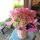 【送料無料】ひらひら麗しくてキュート♪ブーゲンビレア(ピンク...