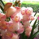 【送料無料】冬ギフトの大定番♪シンビジューム 3本立ち以上【薫る花】【花/フラワー/鉢花/鉢植え/花