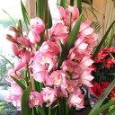 【送料無料】冬ギフトの大定番♪シンビジューム 5本立ち以上 鉢植え【薫る花】【花 フラワー 鉢花 花