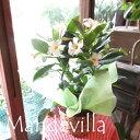 マンデビラ サマードレス 5号鉢サイズ