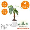 あす楽 光触媒 インテリアグリーン アロカシア スクエア KU KU-06 494682D 造花 観葉植物 人工