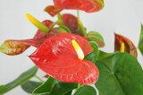 □【季節の花鉢】アンスリューム赤【バスケット付】 アンスリウム 観葉植物 アンセリュームアンセリウム  【RCP】 10P13sep13